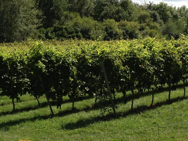 Einen Weinberg gibt es auch in meinem Wohnort Eberstadt. Getrunken habe ich den daraus gewonnenen Wein nie.